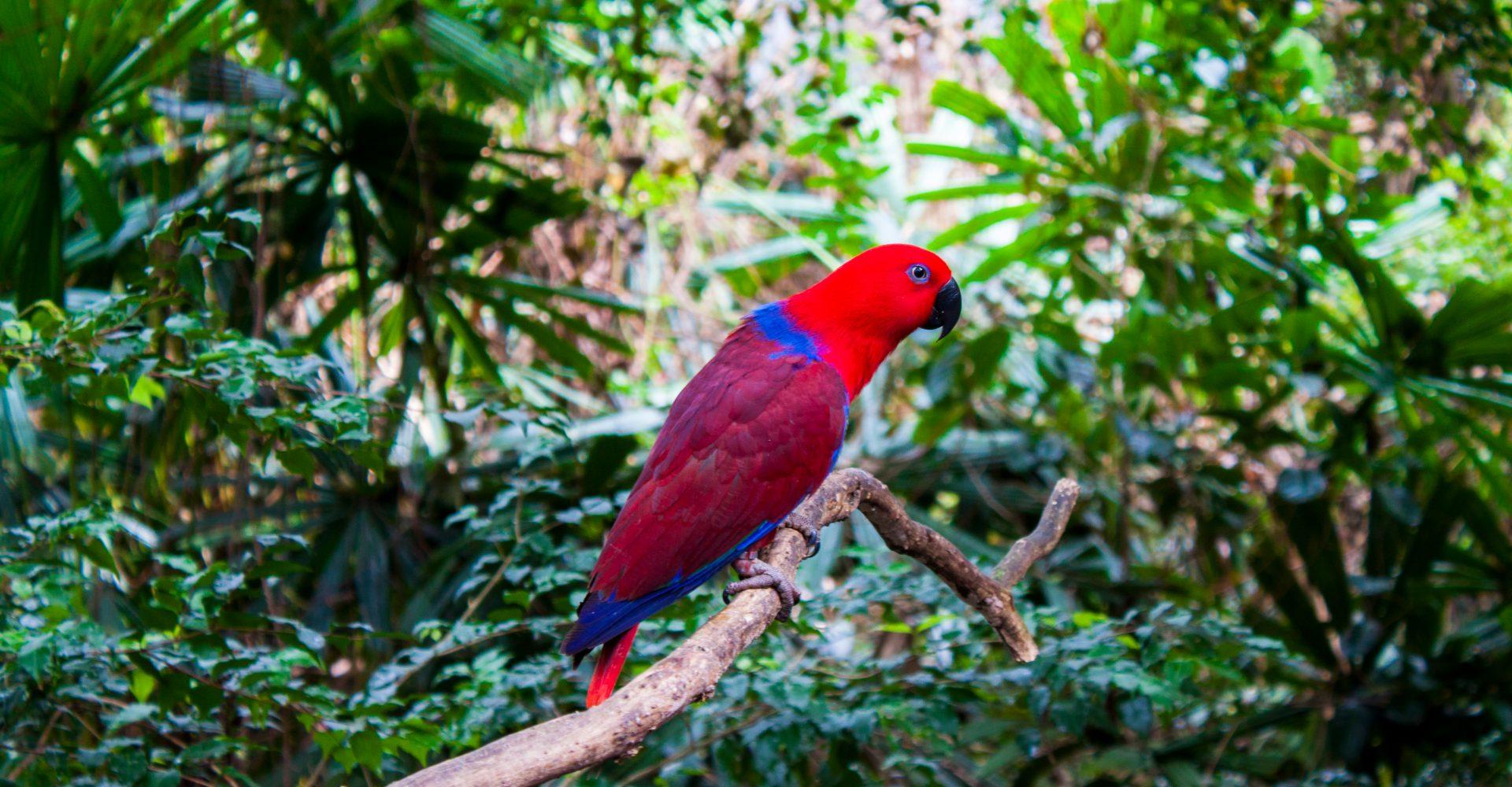 Perroquet dans la forêt pluviale de Daintree, Queensland, Australie