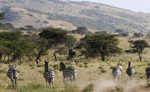 Troupeau de zèbres au Kenya