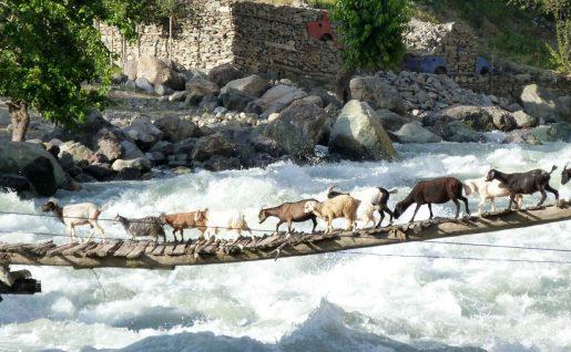 Chèvres, Kirghizie