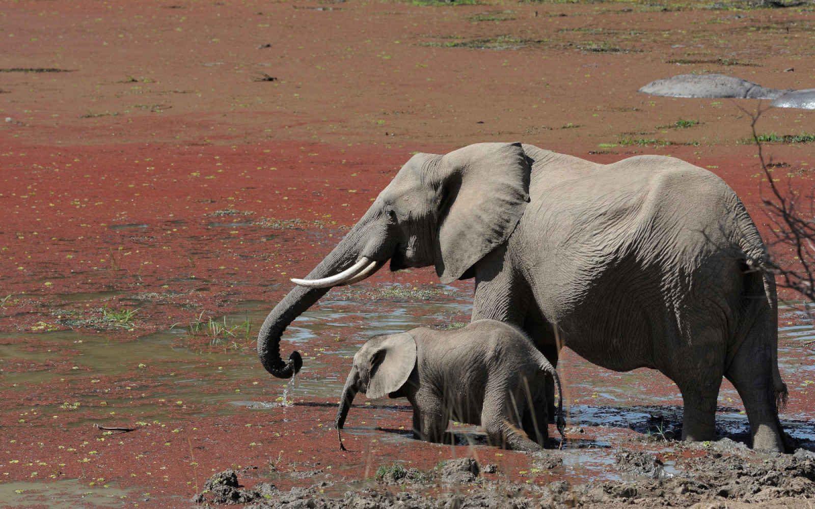 léphants, Zambie