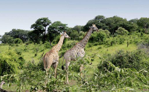 Girafes, Chobe National Park, Botswana