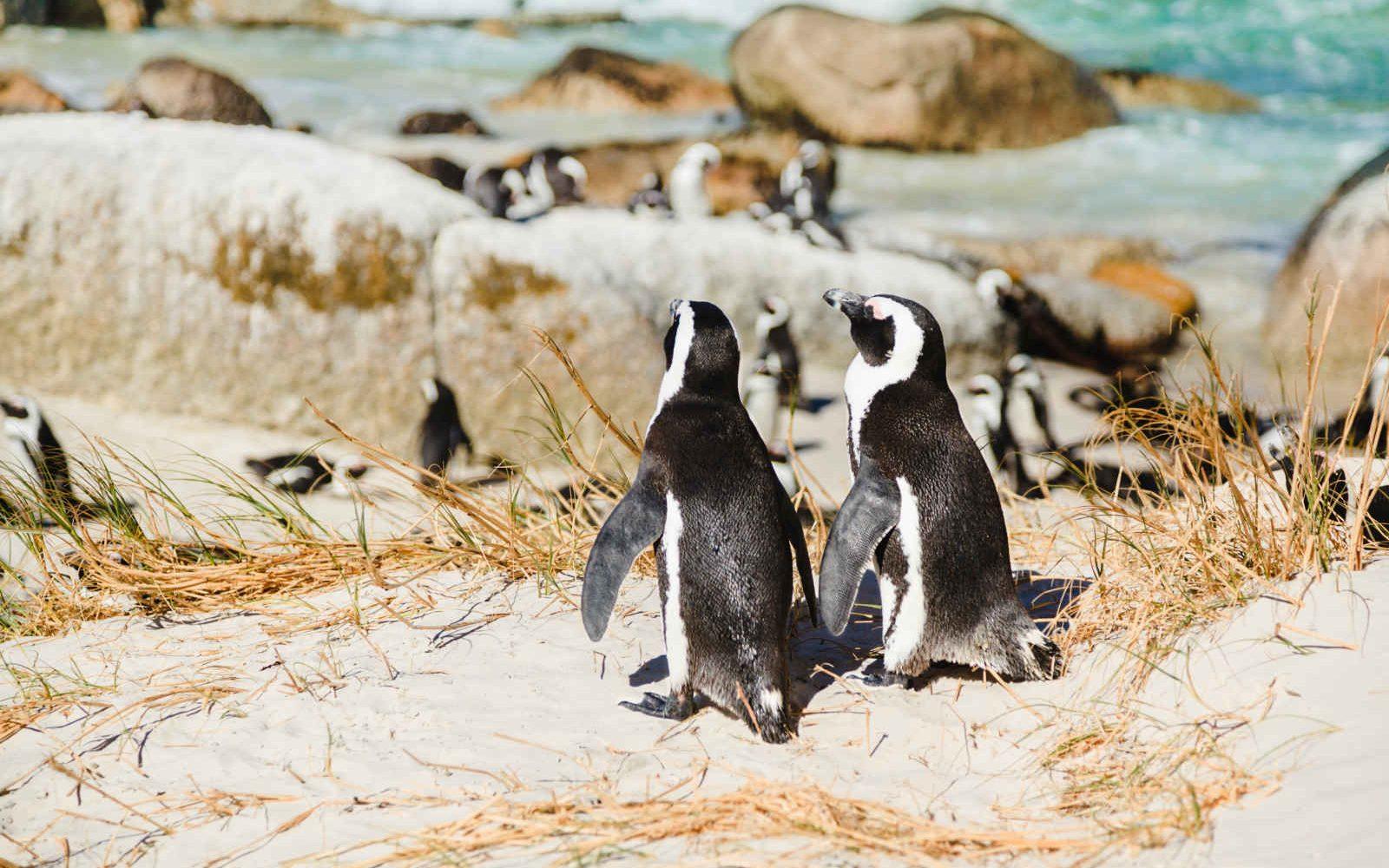 Colonie de pingouins de Boulder Beach, Afrique du Sud