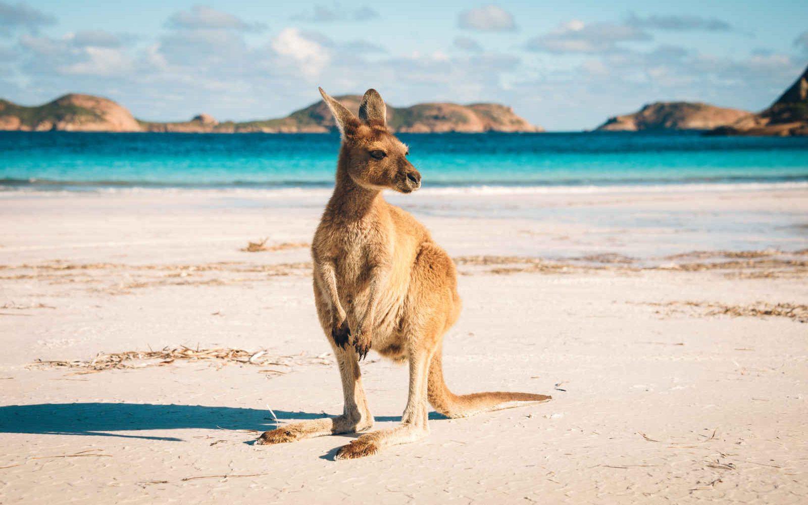 Kangourou, Lucky Bay, Cap Le Grand National Park près d'Esperance, Australie Occidentale, Australie