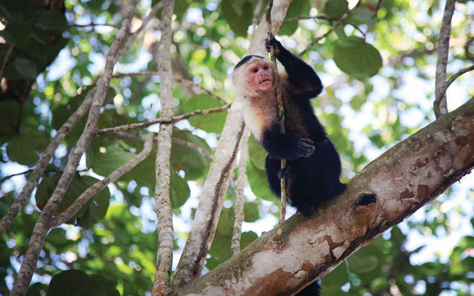 Capucin, Parc National de Cahuita, Costa Rica
