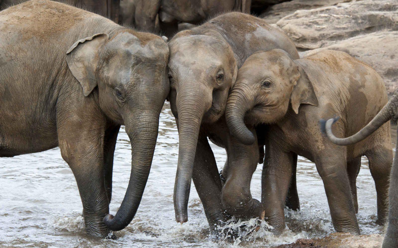 Éléphants, Rivière, Sri Lanka