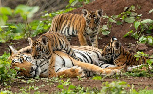 Tigres, Parc national de Kabini, Karnataka, Inde