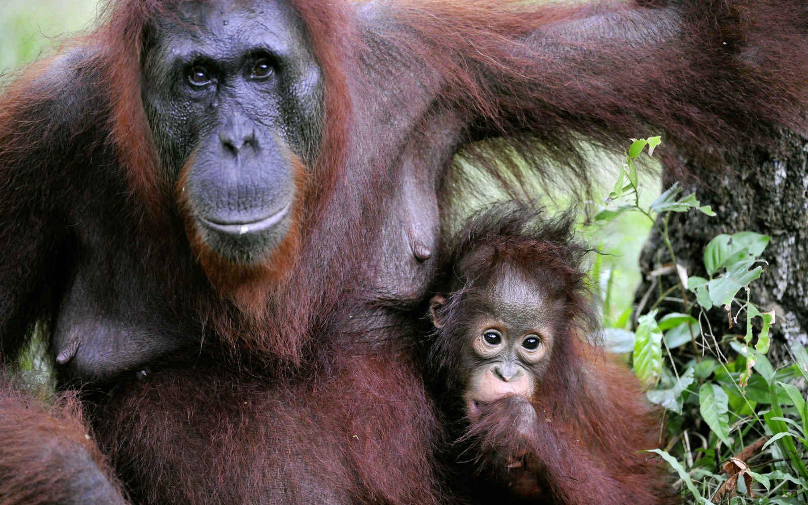 Orangs-Outans à Bornéo, Malaisie
