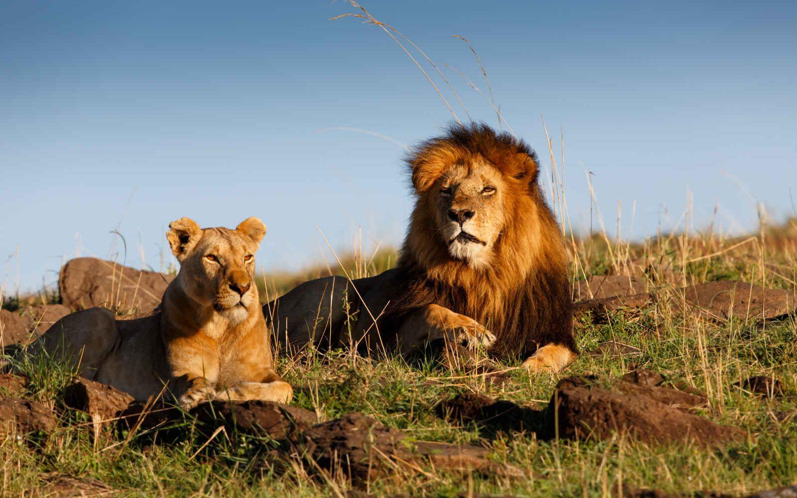 Lion et lionne, Masai Mara, Kenya