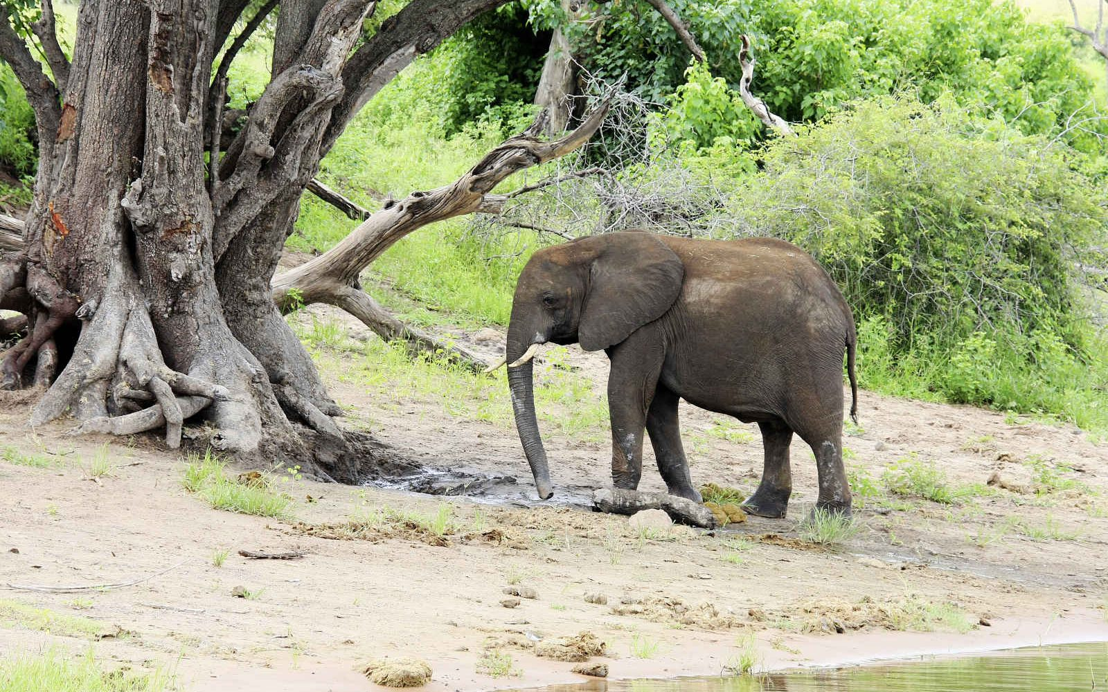 Jeune éléphant, Rivière Chobe, Botswana