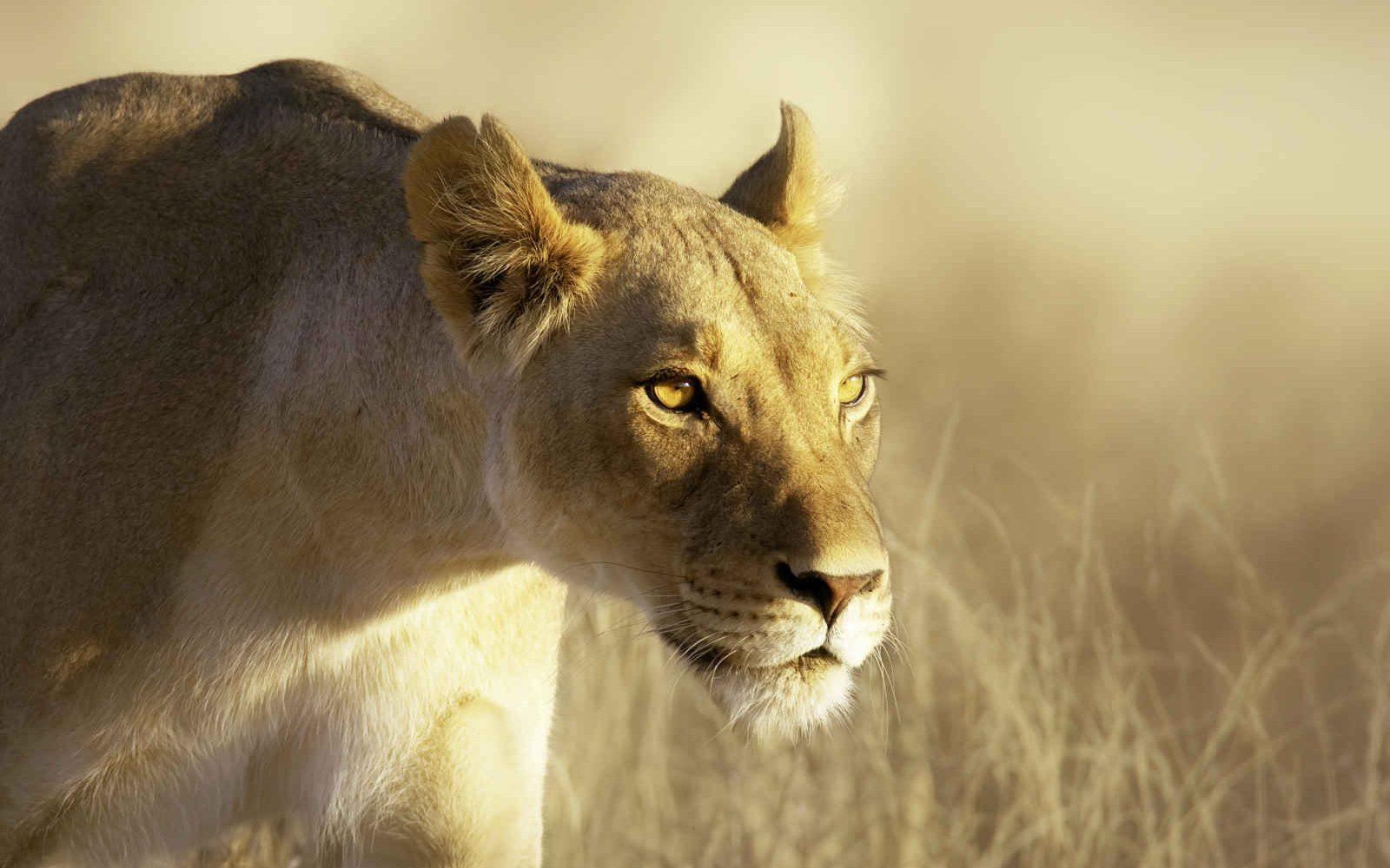 Lioness, Kalahari Gemsbok National Park, South Africa