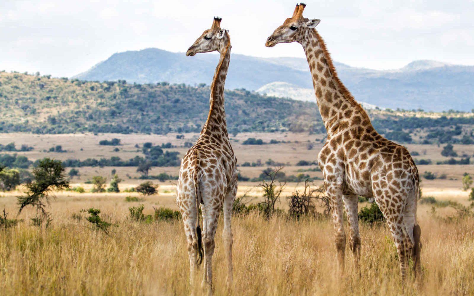 Girafes, Parc national de Pilanesberg, Afrique du Sud