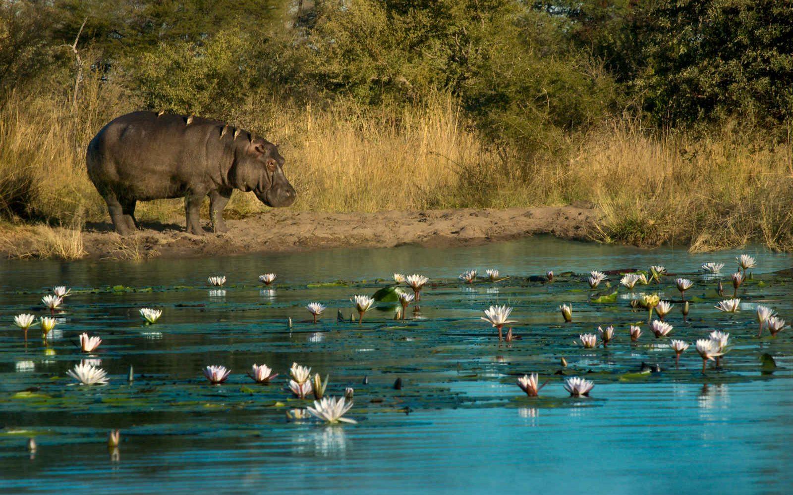Hippopotames, Bande de Caprivi, Namibie