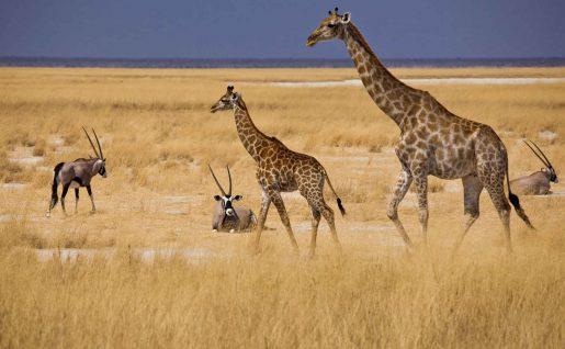 Girafes et antilopes, Etosha, Namibie