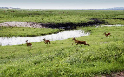 Impalas dans le parc national de Chobe, Botswana
