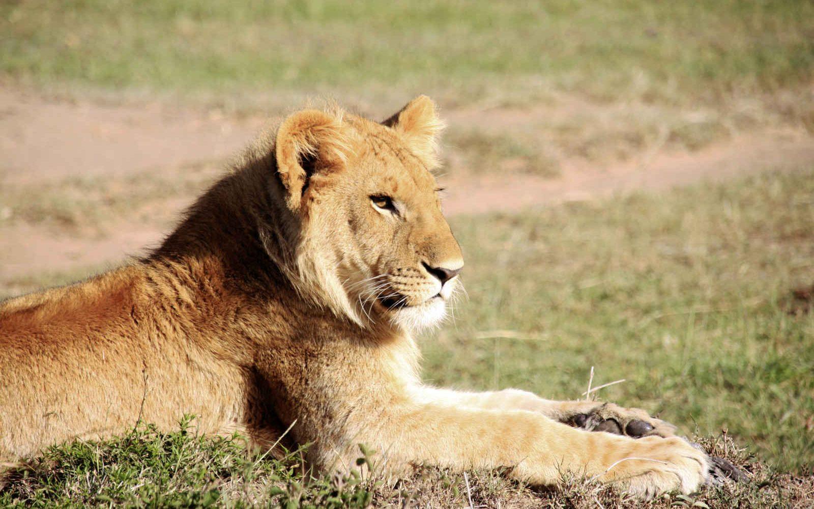Lion, Kenya, Afrique