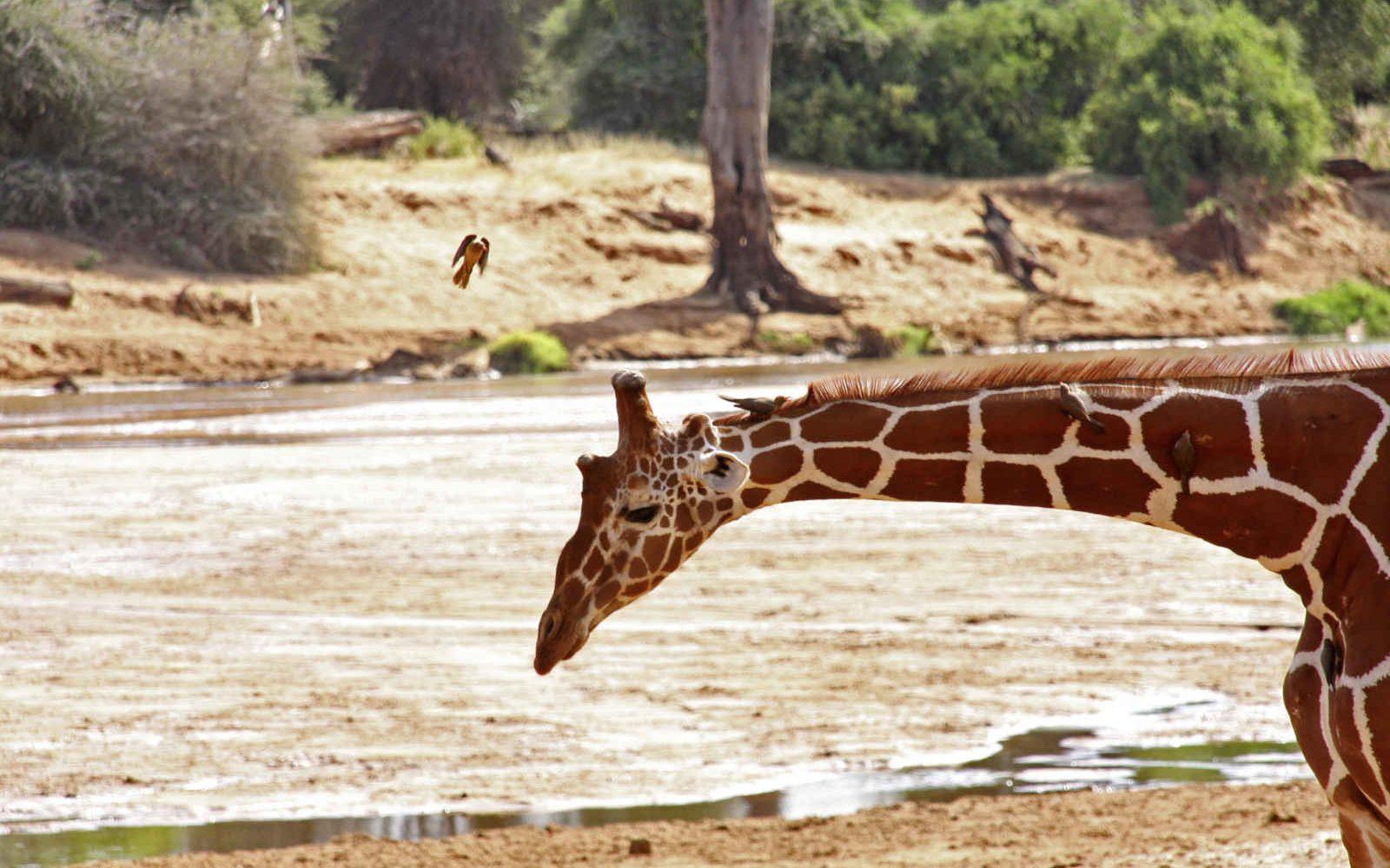 Girafe, Samburu national reserve, Kenya