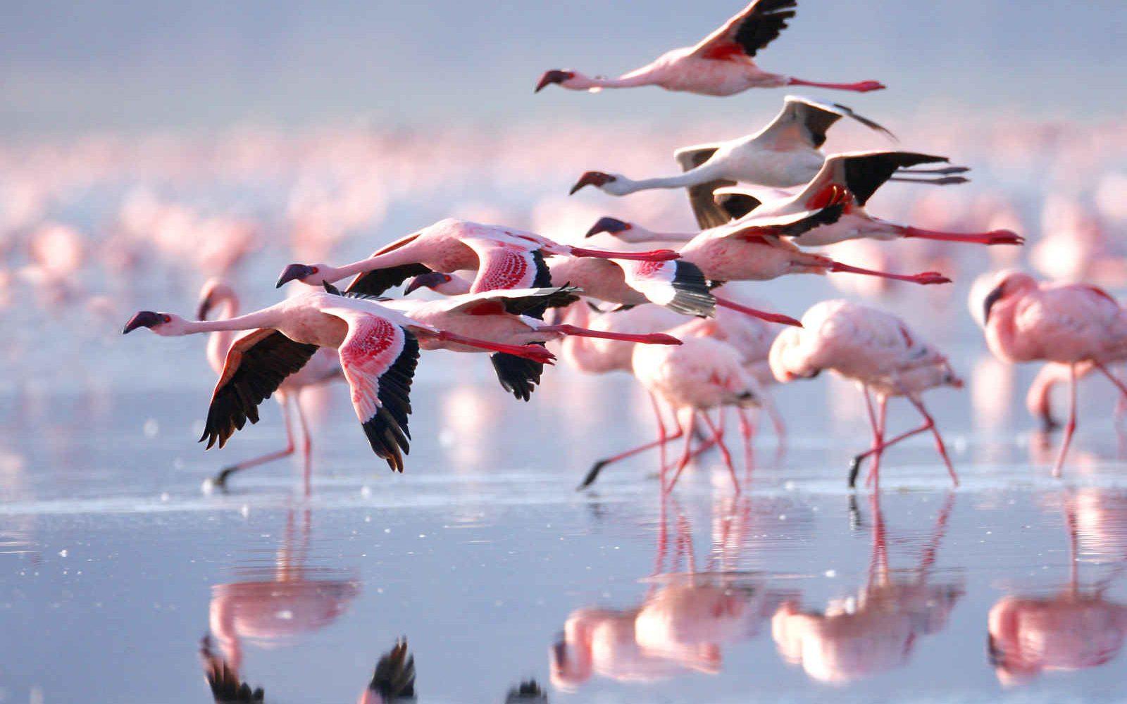 Flamants Rose, Lac Nakuru, Kenya