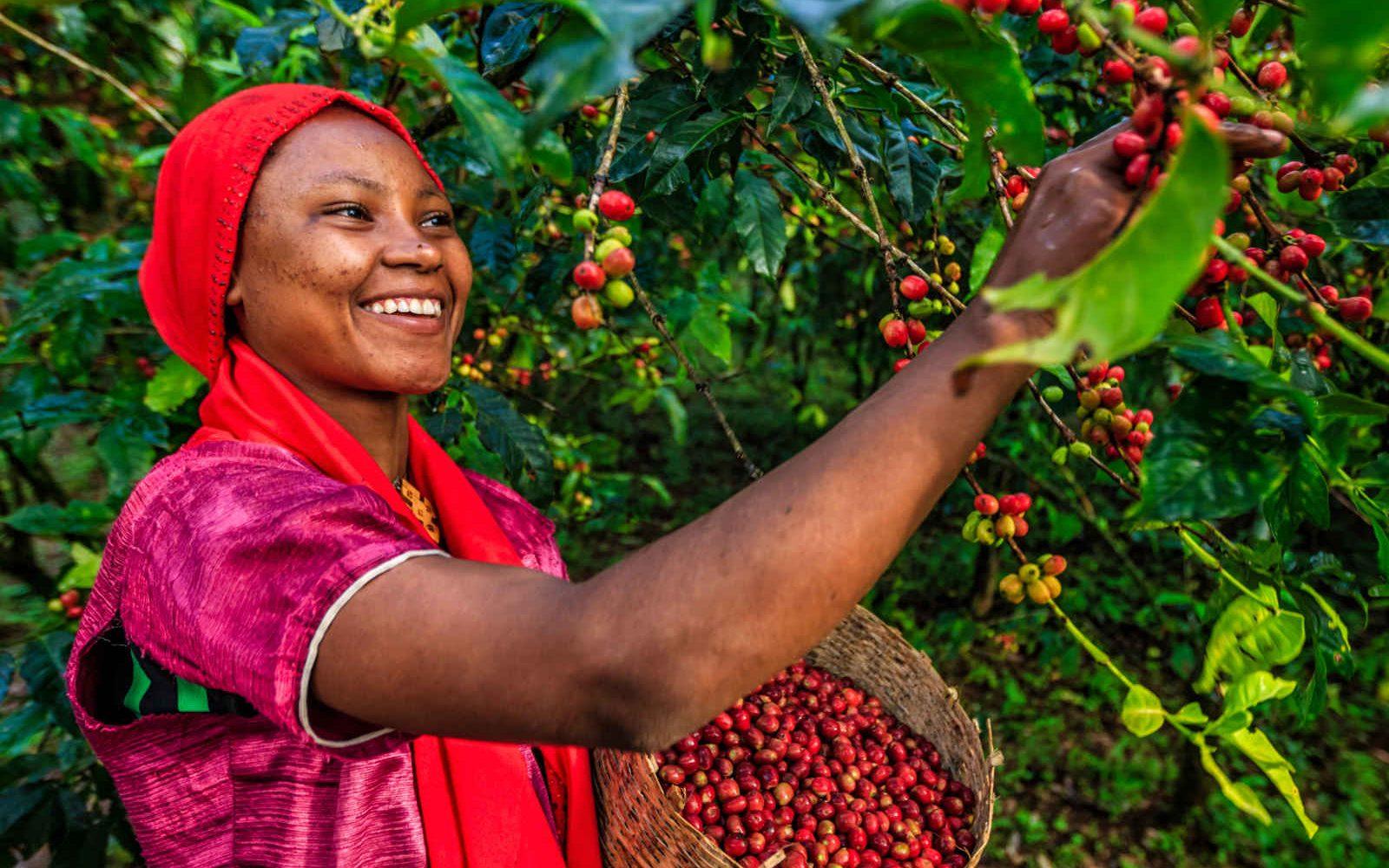 Cueilleuse de café, Ethiopie