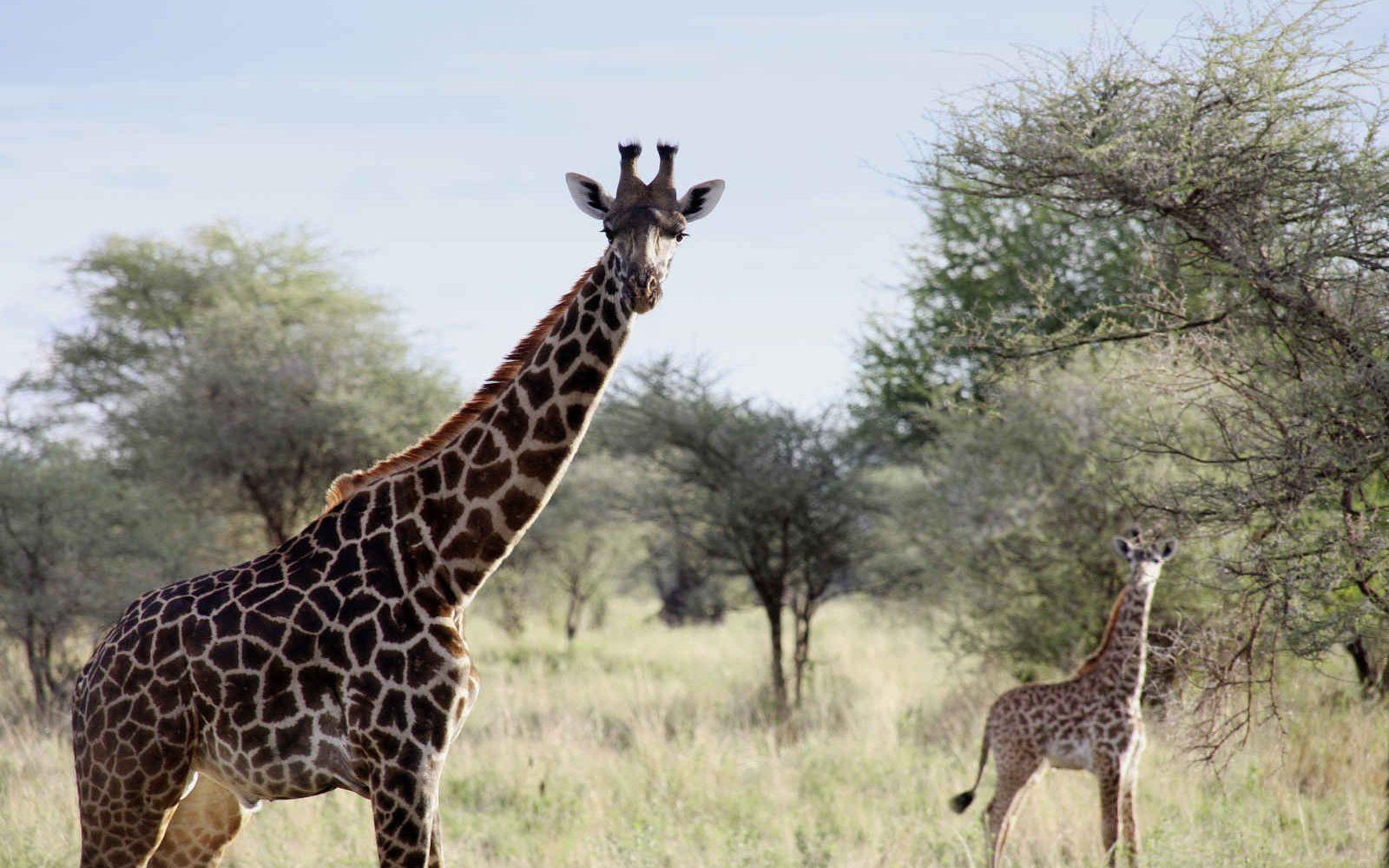 Girafe, parc national de Tarangire, Tanzanie