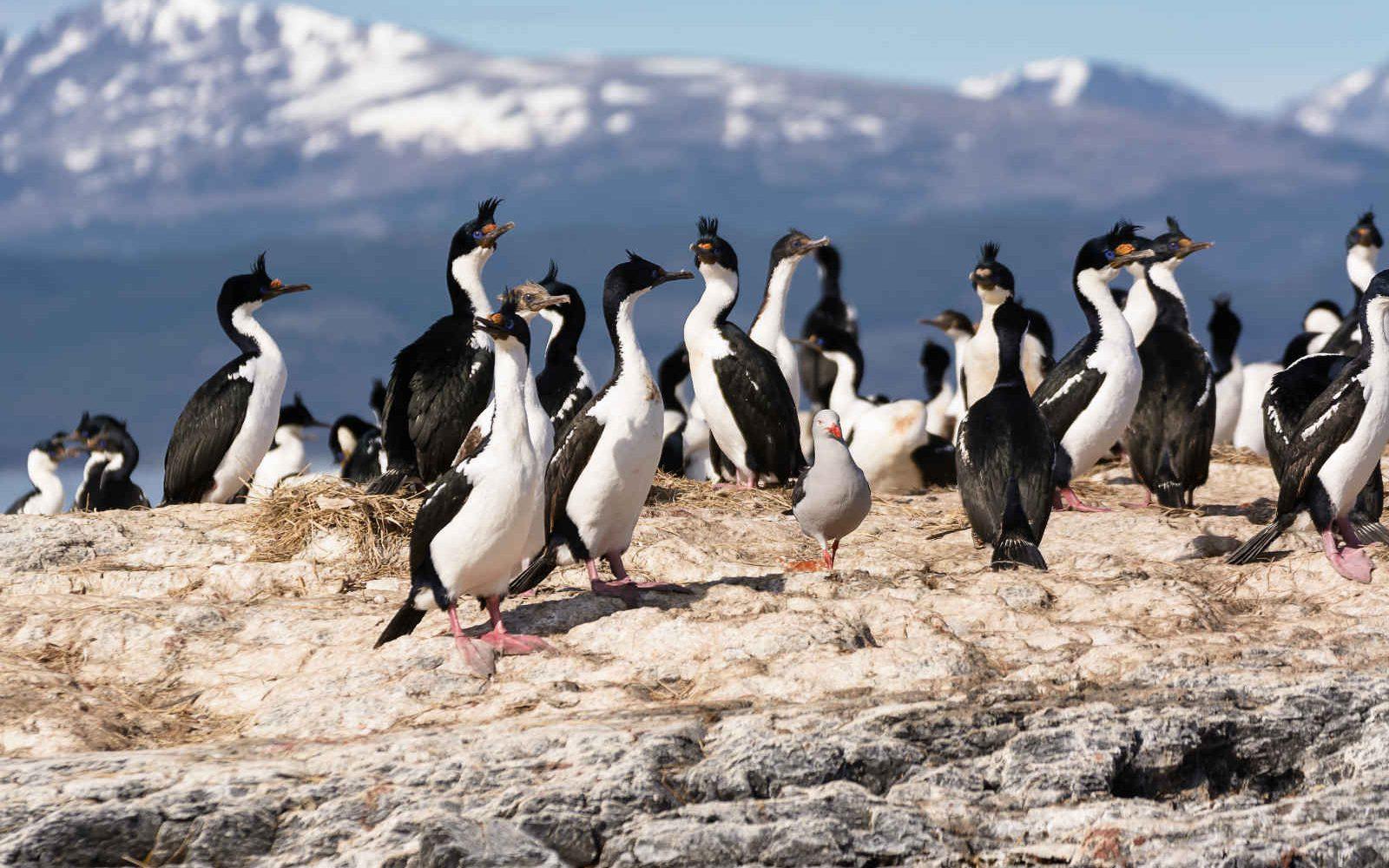 Cormorans sur le canal de Beagle, Argentine