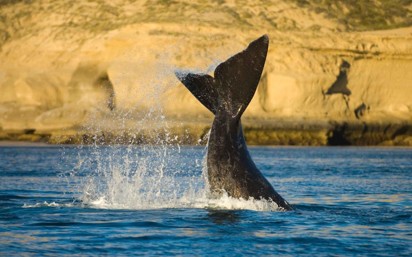 Baleine franche australe, péninsule Valdés, Argentine