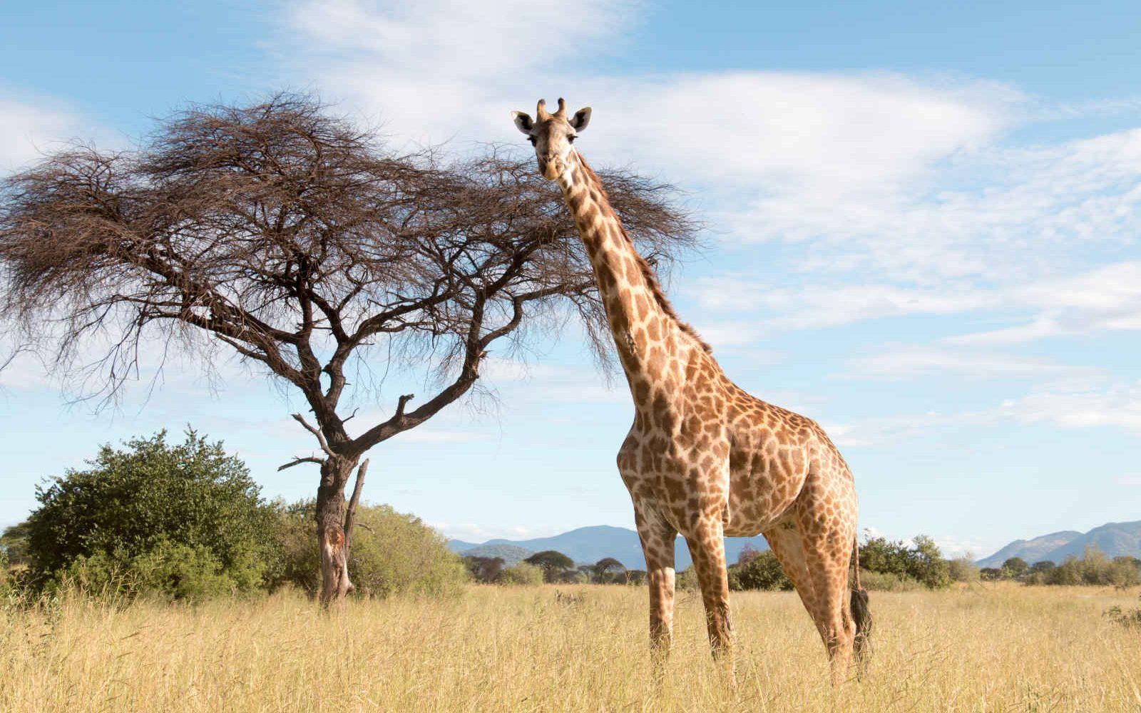 Girafe, Parc National Ruaha, Tanzanie