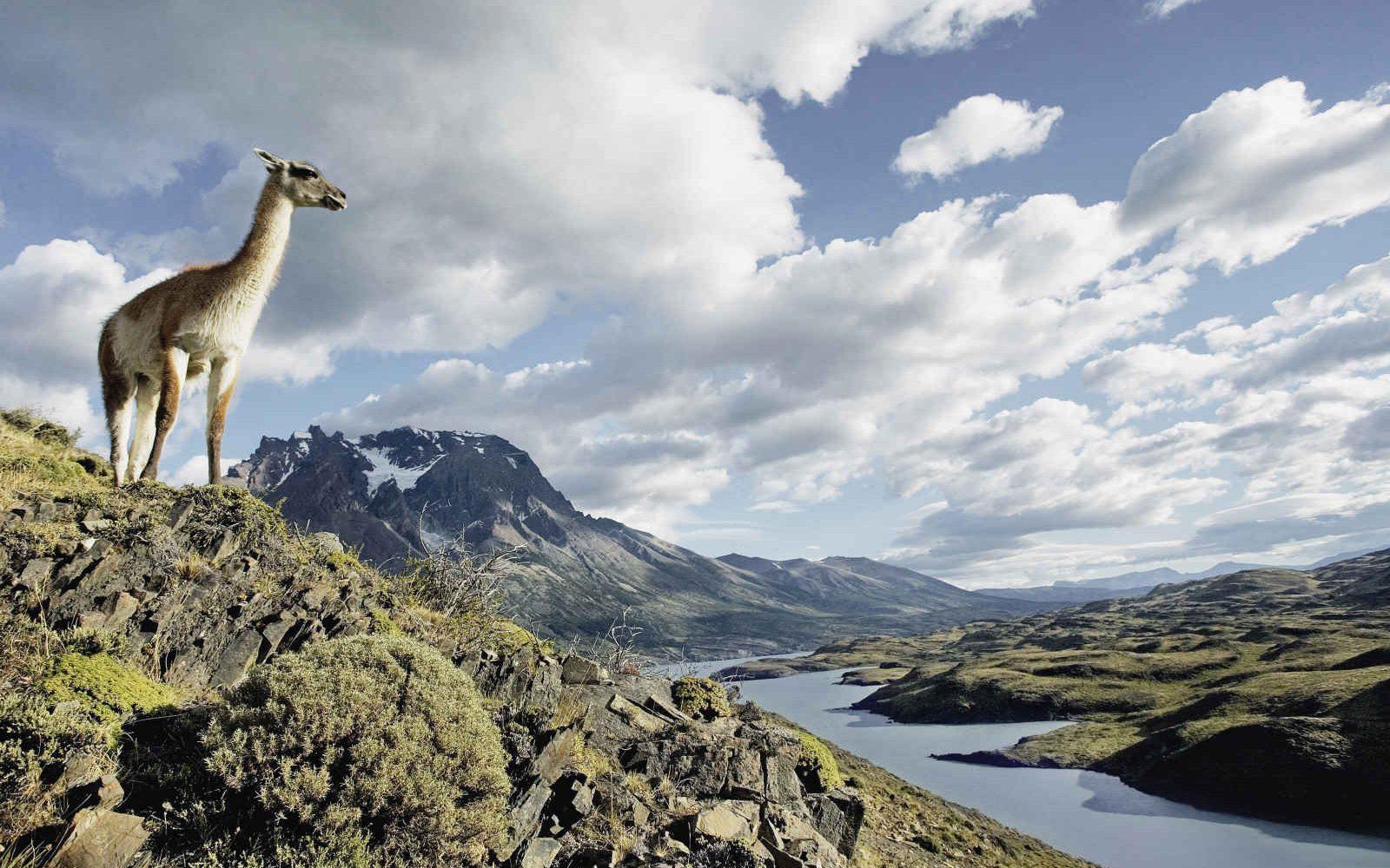 Lama guanaco, Lac Nordenskjold, Torres del Paine, Argentine