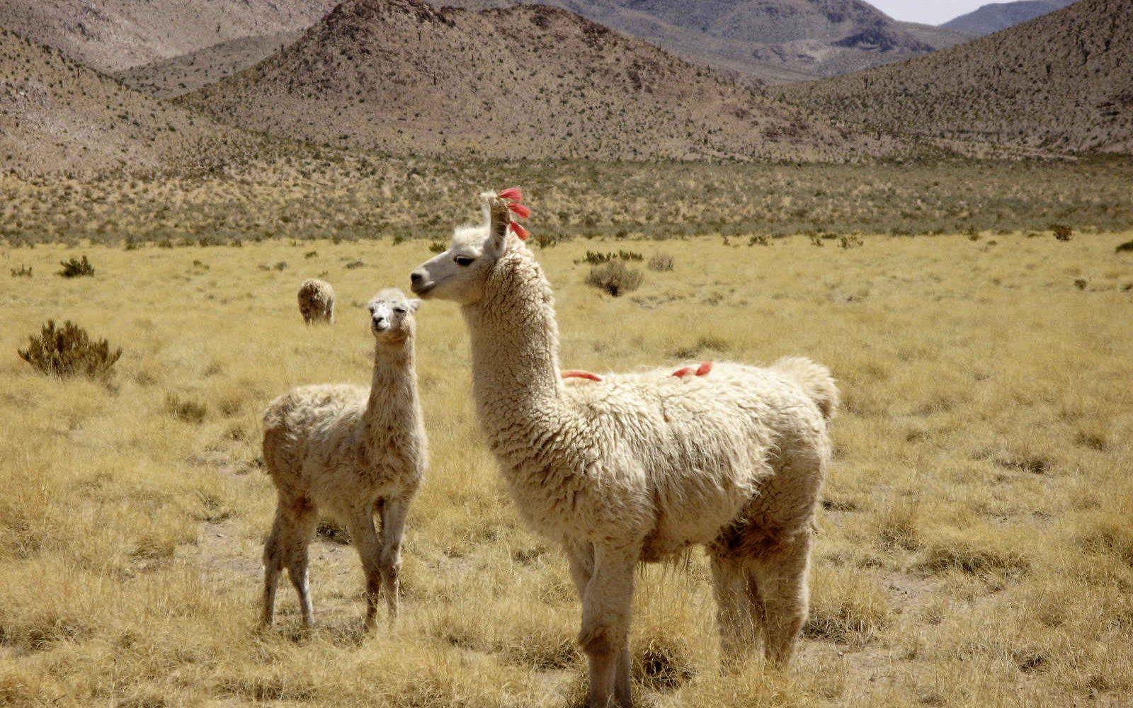 Lama, région de Salta, Argentine