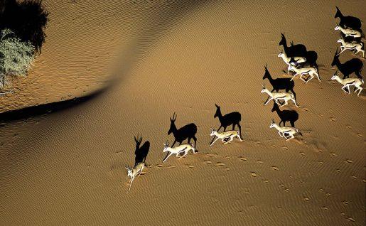 Antilopes dans le désert de Kalahari, Namibie