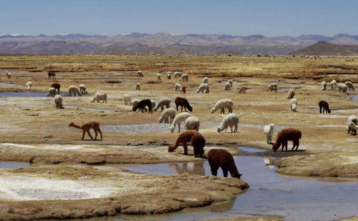Alpaga et lama,canyon de Colca, Pérou