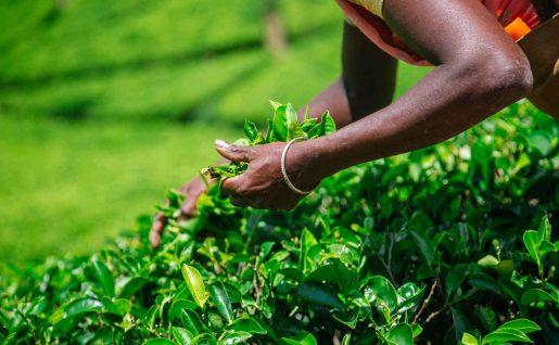 Récolte dans les plantation de thé, Nuwara Eliya, Sri Lanka